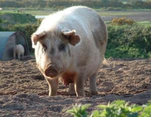 Aynalara düşkün bir domuz
