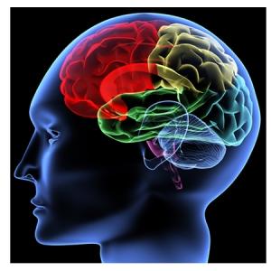 Beynin temel bölgeleri